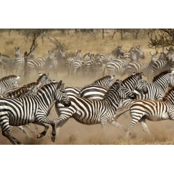 Running Zebra Herd Tempered Glass Wall Art - 80cm x 120cm